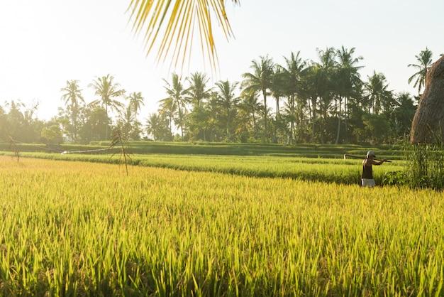 Campo de arroz em bali