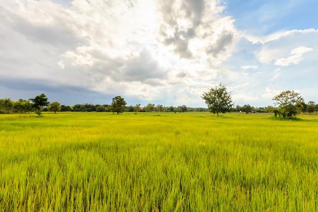 Campo de arroz em casca verde fresco na tailândia