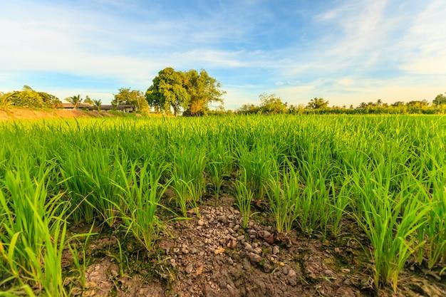 Campo de arroz em casca verde natural