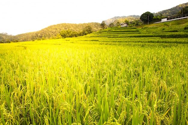 Campo de arroz em chiang mai, tailândia.