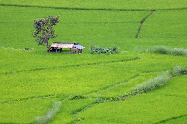 Campo de arroz em socalcos em chiangmai, norte da tailândia