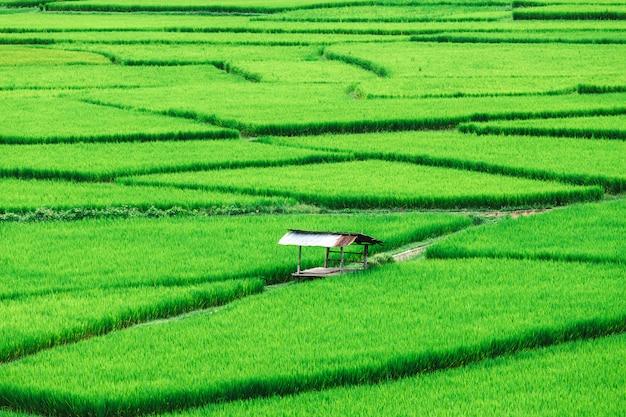 Campo de arroz em socalcos verde bonito