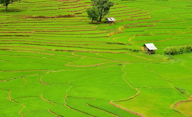 Campo de arroz em terraços no distrito de chaloem phra kiat