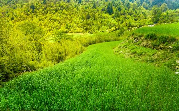 Campo de arroz em terraços