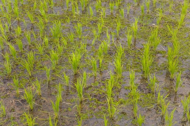 Campo de arroz jovem verde