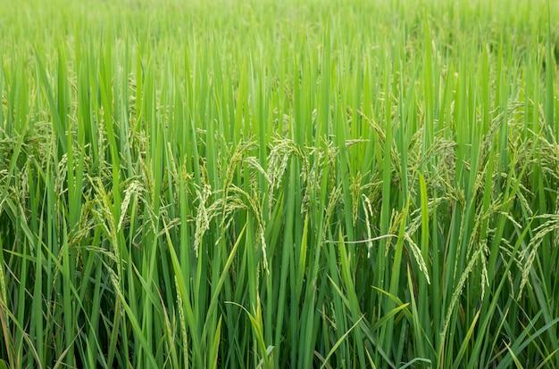 Campo de arroz na área rural da tailândia
