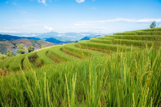 Campo de arroz na montanha na estação das chuvas.