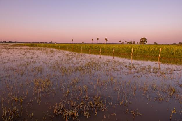Campo de arroz no pantanal durante o pôr do sol, surin, tailândia