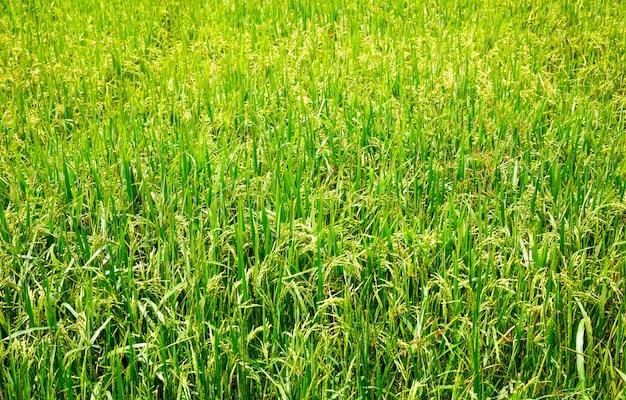 Campo de arroz no sri lanka, plantação de arroz do ceilão. comida asiática