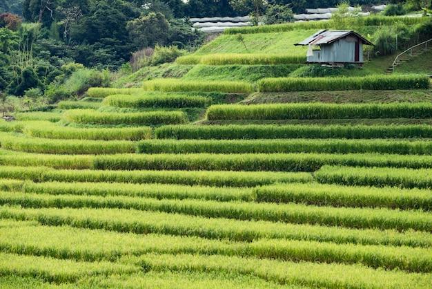 Campo de arroz outono, arroz em casca