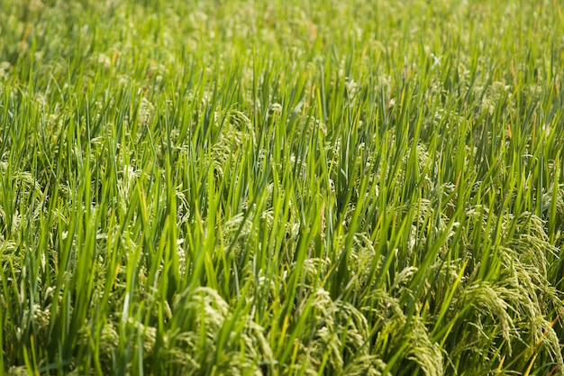 Campo de arroz paddy em dia de luz clara