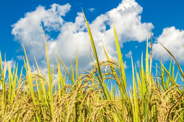Campo de arroz paddy