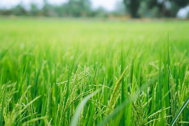 Campo de arroz verde closeup no fundo desfocado
