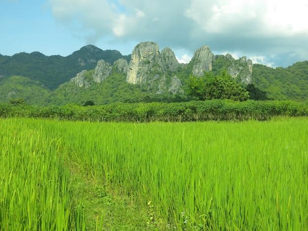 Campo de arroz verde com a bela montanha e o céu azul com algumas nuvens brancas