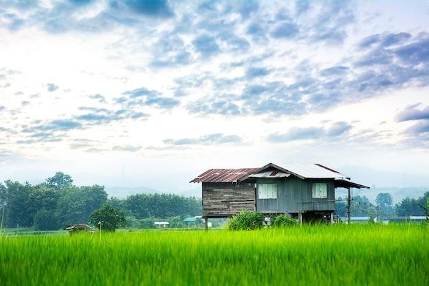 Campo de arroz verde com cabana de palha em casa