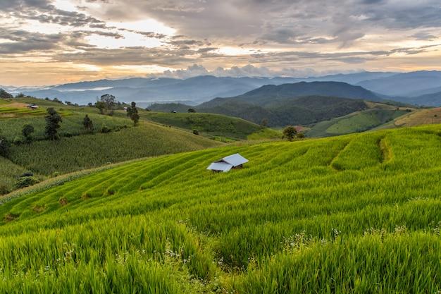 Campo de arroz verde com terraços em pa pong pieng