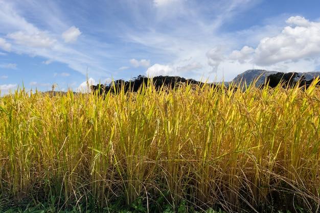 Campo de arroz verde em socalcos em mae klang luang, província de chiang mai, tailândia