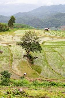Campo de arroz verde em terraços em pa pong pieng, mae chaem, chiang mai, tailândia
