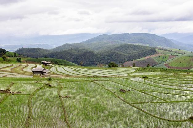 Campo de arroz verde em terraços em pa pong pieng