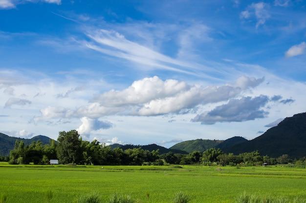 Campo de arroz verde fesh com nuvens e céu azul na paisagem da natureza