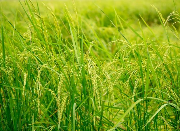 Campo de arroz verde natureza