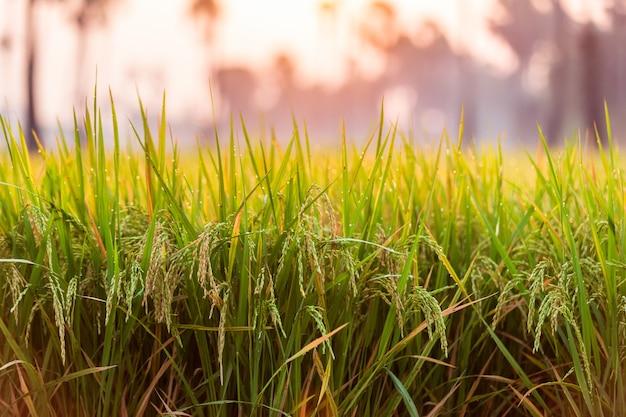 Campo de arroz verde pela manhã em uma palmeira durante o nascer do sol