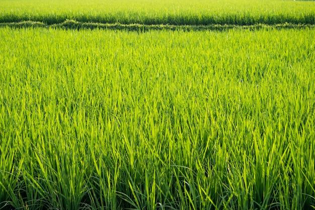 Campo de arroz verde. plantação de arroz. fazenda de arroz de jasmim orgânico na ásia.