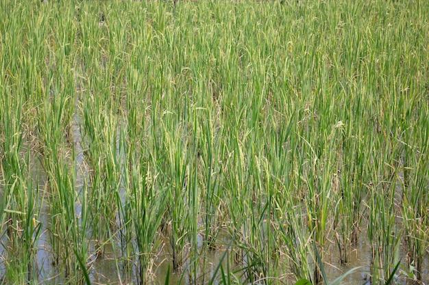 Campo de arroz verde relaxa no verão