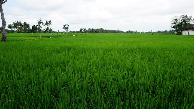 Campo de arroz verde, ubud, bali