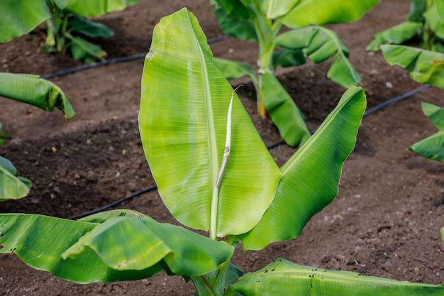 Campo de banana indiano