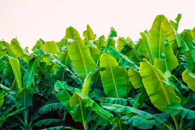 Campo de banana na índia