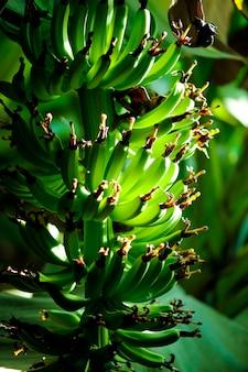 Campo de banana verde