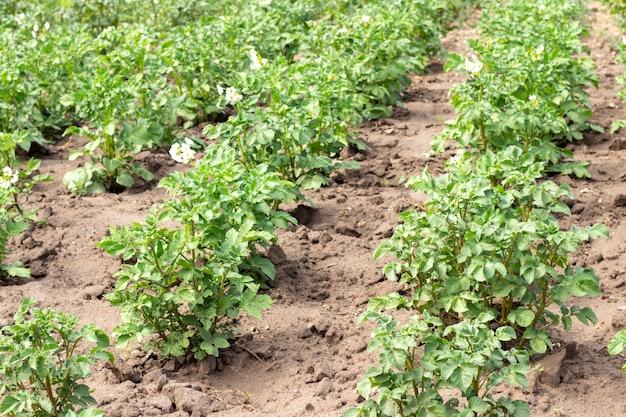 Campo de batata com brotos verdes de batatas. paisagem com campos agrícolas em tempo ensolarado