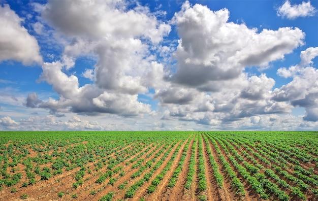 Campo de batatas e céu azul nublado. composição da natureza
