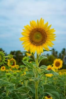 Campo, de, bloooming, paisagem, de, fazenda girassol