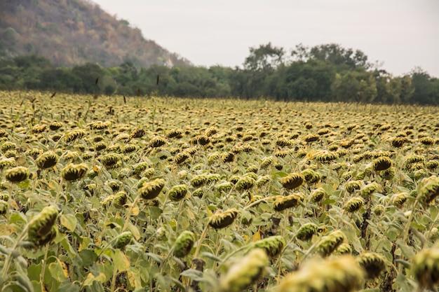 Campo, de, bloooming, paisagem, de, girassol, fazenda, flores, withered