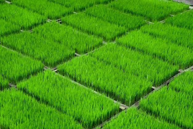 Campo de broto de arroz jovem verde brilhante ou campo de grama natureza fundo e textura
