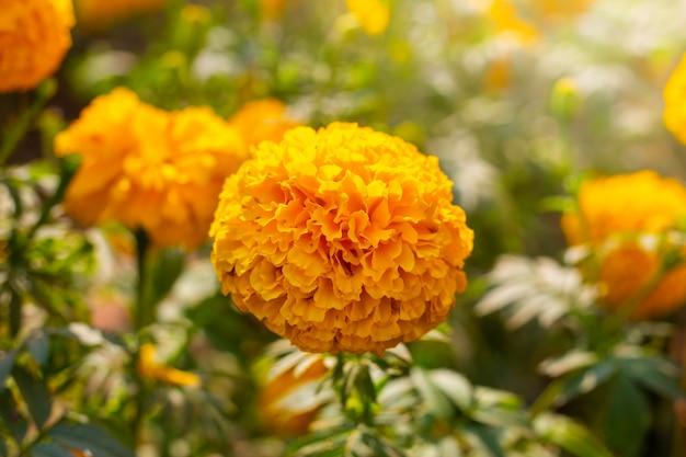 Campo de calêndula, flores amarelas. fundo natural.
