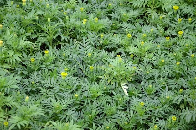 Campo de calêndula verde