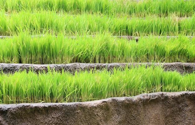 Campo de camada de arroz de jasmim