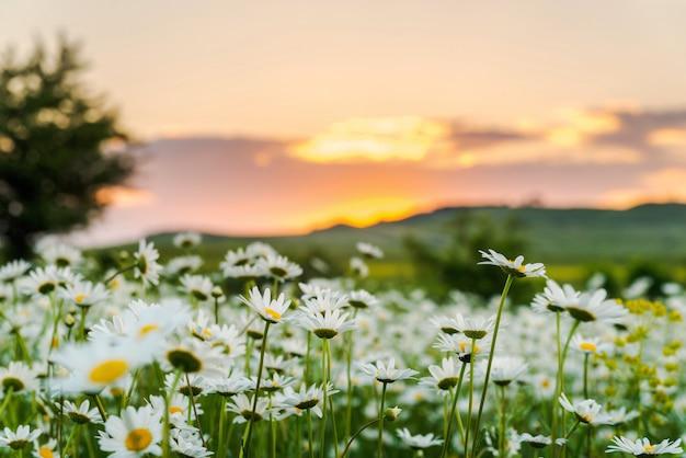 Campo de camomila ao pôr do sol