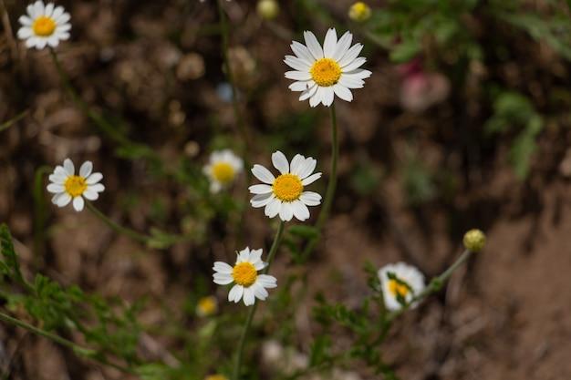 Campo de camomila de margaridas brancas selvagens sob a luz do sol