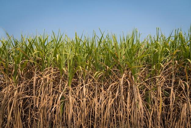 Campo de cana-de-açúcar com fundo de céu azul, colheita à fábrica para fazer açúcar, álcool, gasool e fertilizante.