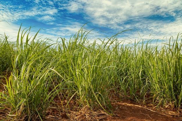 Campo de cana-de-açúcar em dia ensolarado.