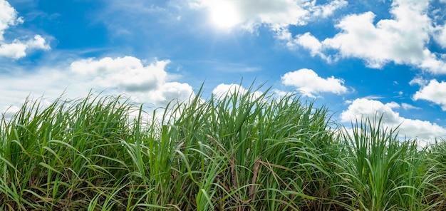 Campo de cana-de-açúcar no céu azul e nuvem branca e lua.