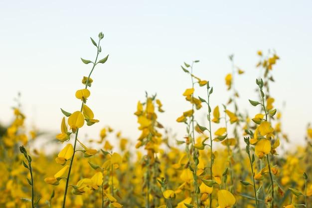 Campo de cânhamo indiano. flor amarela.