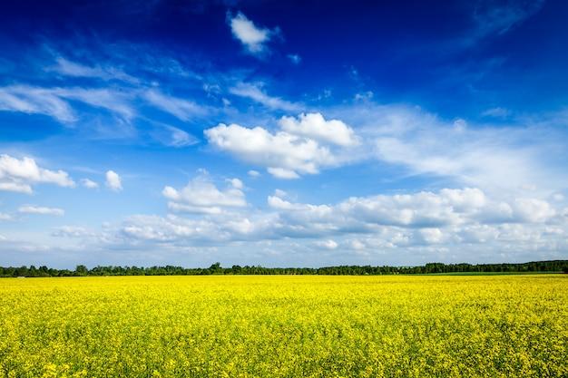Campo de canola de primavera verão fundo e céu azul