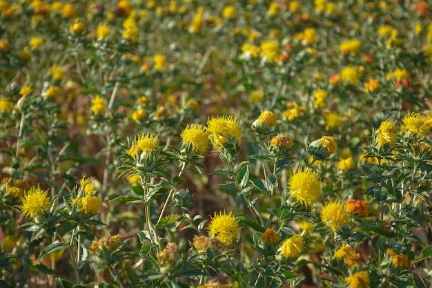 Campo de cártamo, muitos cártamo, campo de flores amarelas espinhosas, carthamus tinctoriu