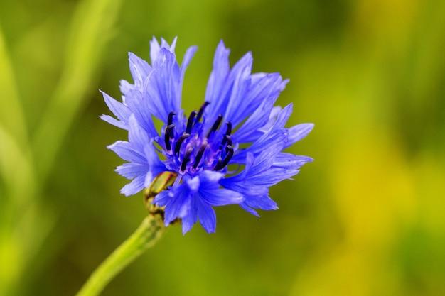 Campo de centáurea, azul selvagem flor desabrochando
