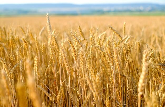 Campo de centeio ao pôr do sol, centeio maduro, colheita de centeio no campo